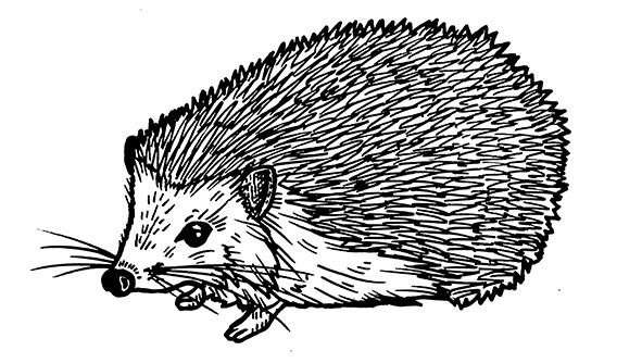 Quercus_Hedgehog_3_small.jpg