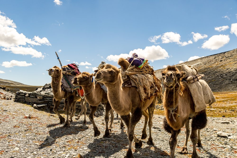 Mongolia Walking Tour - Pack camels will help us with our gear!