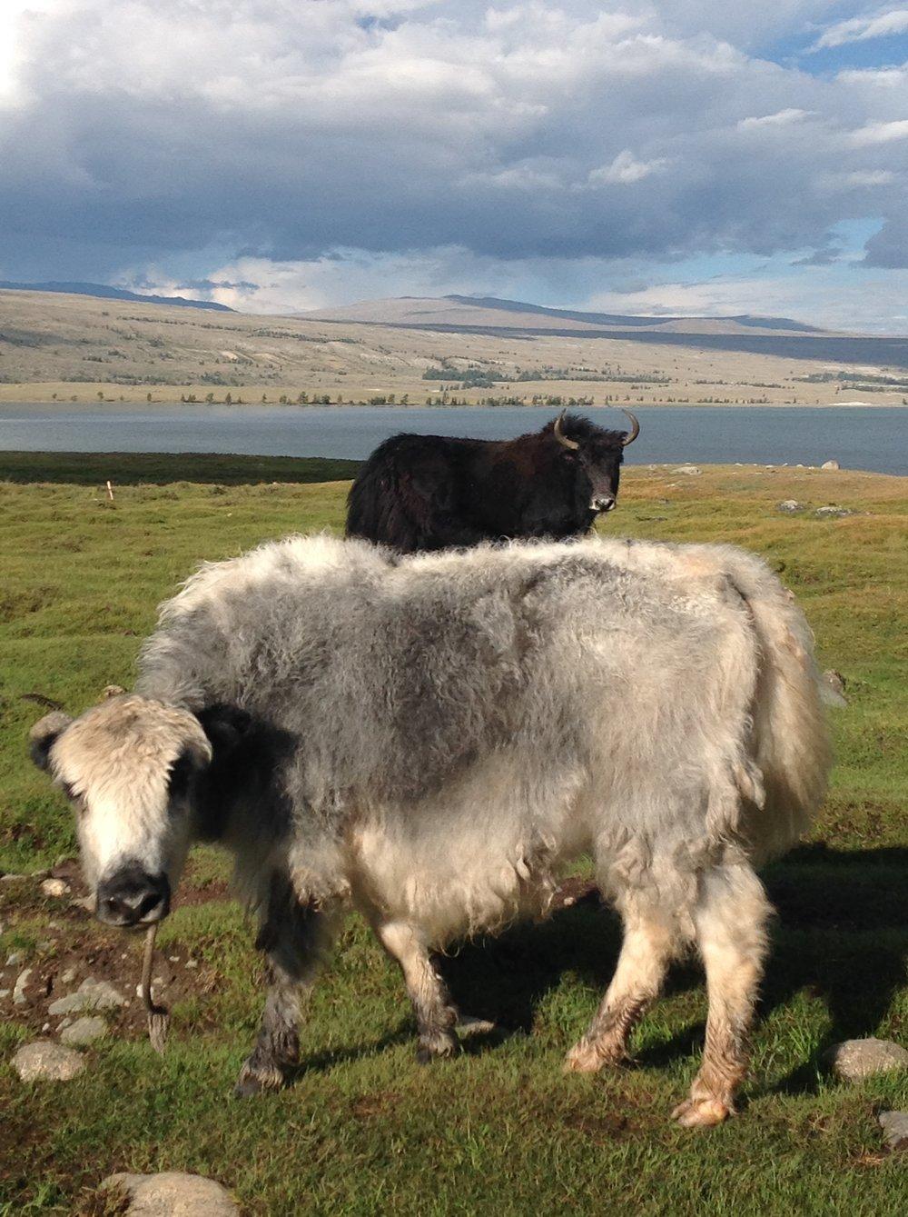 Yaks - Tavan Bogd National Park - Mongolia