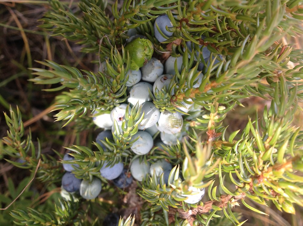 tavan bogd national park juniper.jpg