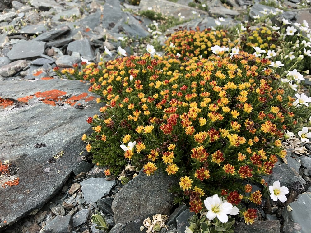 Wildflowers in Mongolia
