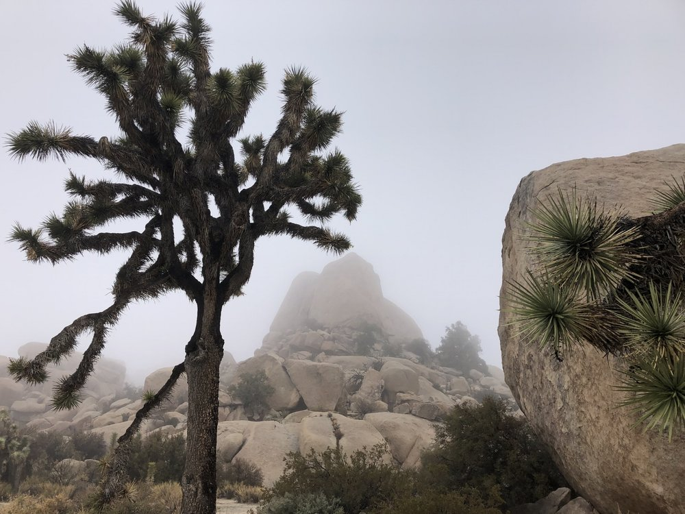 Joshua Tree - Yucca brevifolia