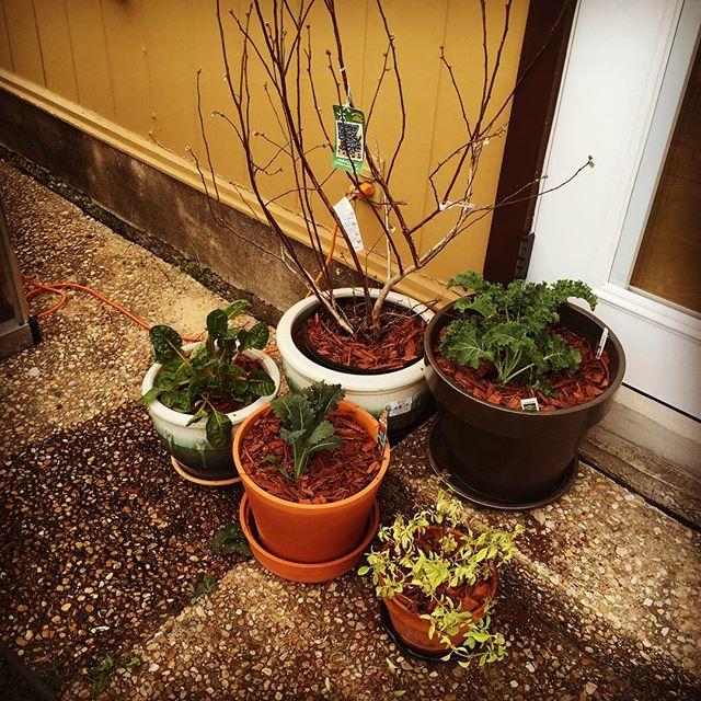 Container garden. :) #two #blueberry #dinokale #swisschard #thaibasil #curlykale #urbangarden