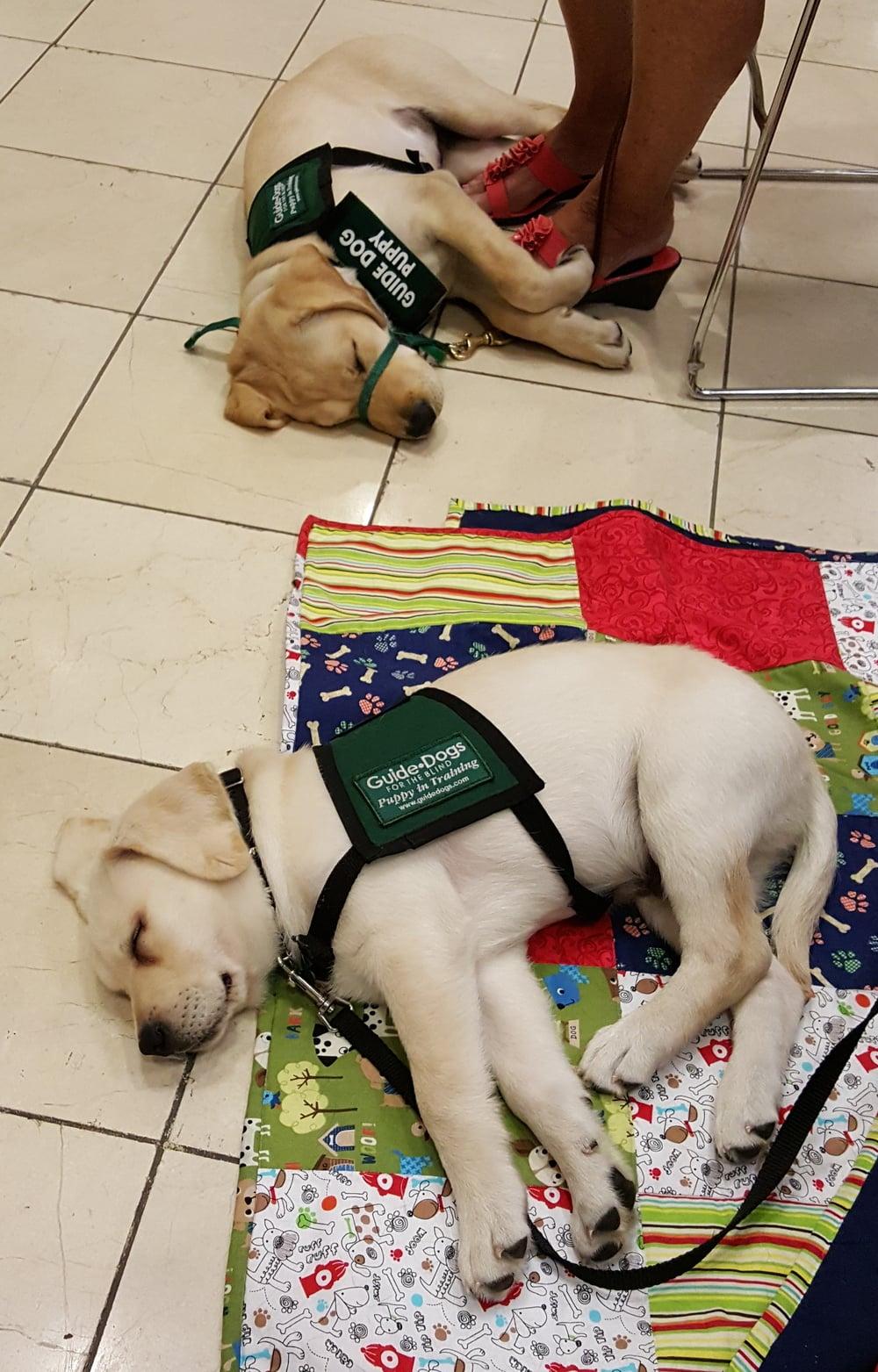 2 tired pups at Macys 8-29-15.jpg