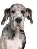 close-up-great-dane-puppy-3-months-old-17255428.jpg