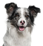 close-up-border-collie-11-months-old-20376633.jpg