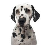 close-up-dalmatian-37852709.jpg