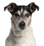 close-up-jack-russell-terrier-12-years-old-20377243.jpg