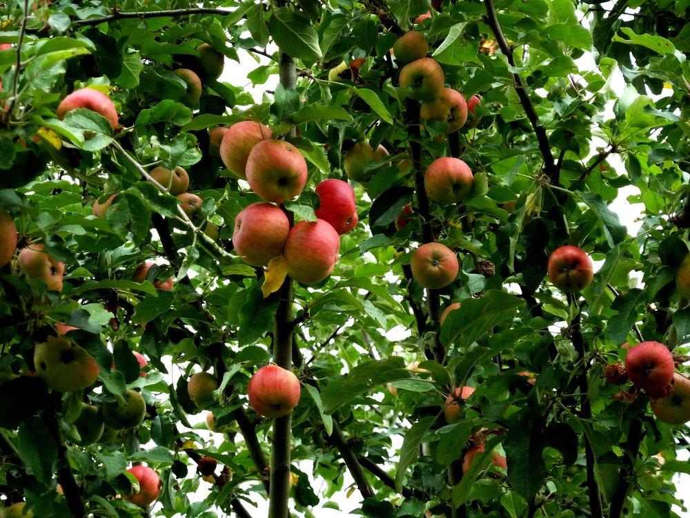 apple-tree-1681022_1920.jpg