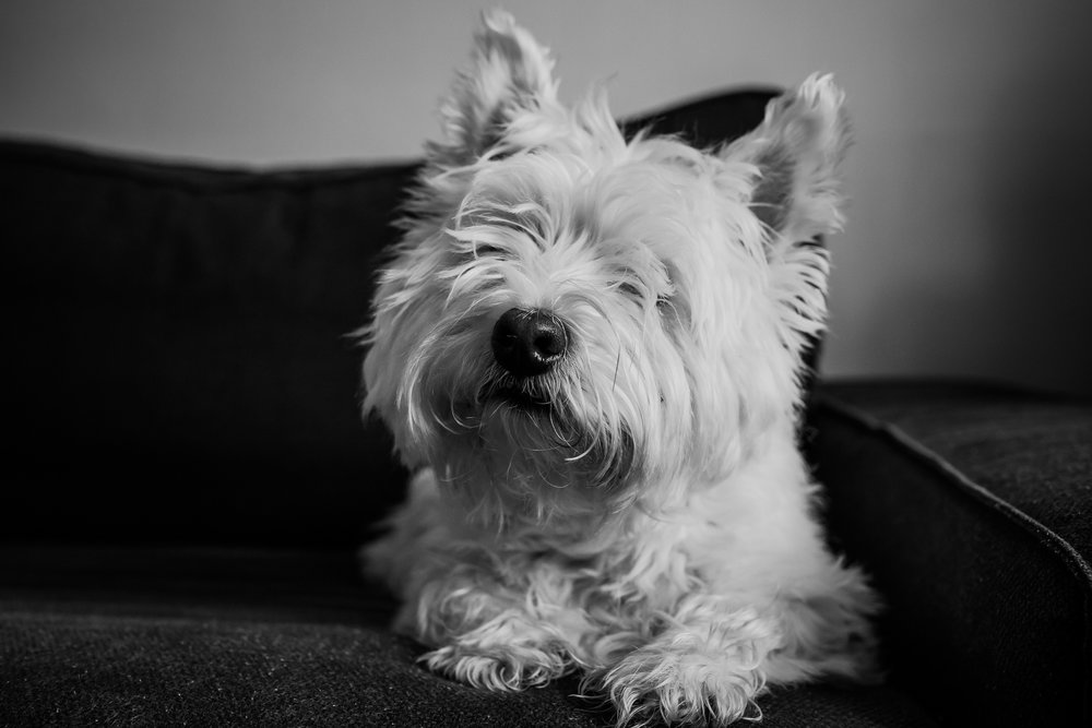 Treelines Photography - Edmonton Lifestyle Photographer - Westie Highland Terrier - Westie