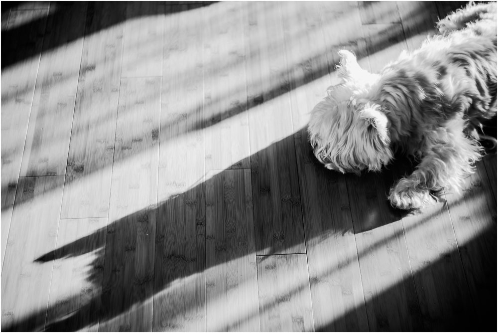 Treelines Photography - National Puppy Day 2017 - Edmonton Photographer - West Highland White Terrier