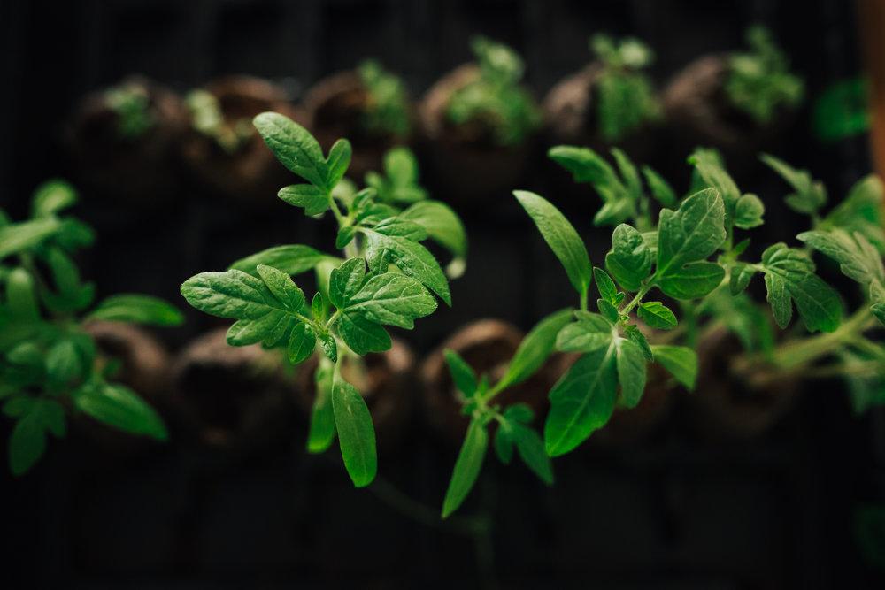 Treelines Photography - Tomato Seedlings