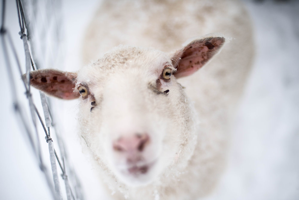 Sheep8.jpg