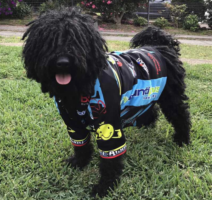 Fergus van der Dog (owner being BiciSport member Suzy Ladanyi) giving the BiciSport team jersey a walk in the Blue Mountains. Fergus is the new BiciSport mascot for the Nowra Team Time Trial in July
