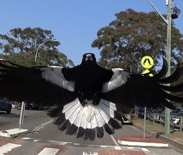Its magpie season, so be alert