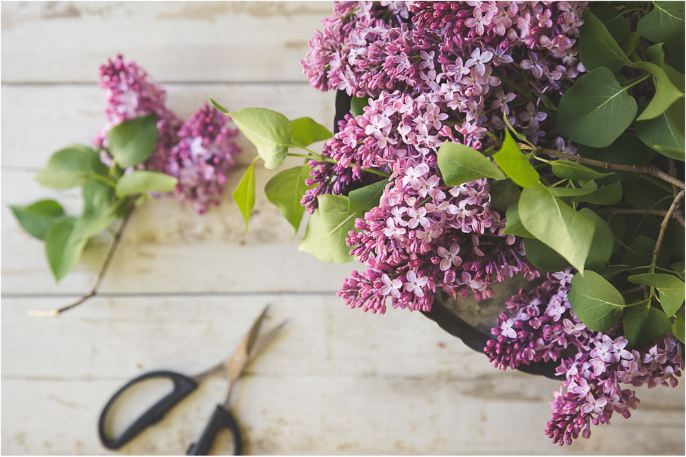 Freshly cut lilacs