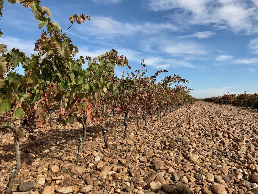 San Román maintains a combination of trellised and bush vines. These are grown on the trellis. Note the layer of stones above the soil.