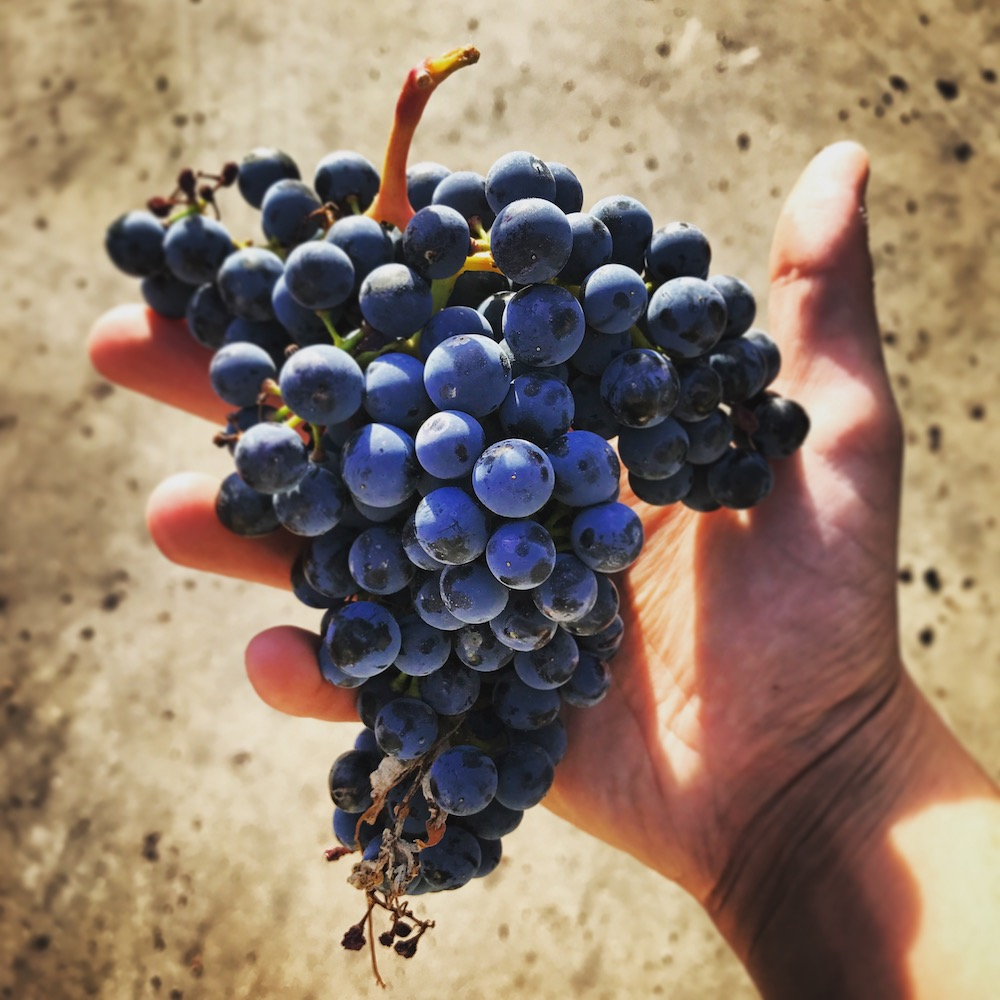 Harvested Tempranillo in my hand. Note the shoulders on this bunch that are characteristic of Tempranillo.