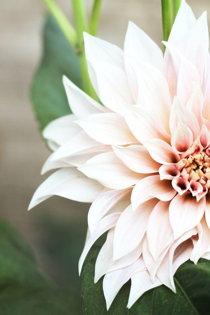tahur lotus 4.png
