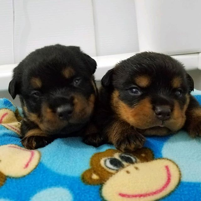 It's pupdate day! They've opened their eyes now and are 2wks old. I'll be excited to make our first visit up to see them in person in a couple of weeks. Which one will be Kona? We'll see!  #rottypuppy  #newbabygirl