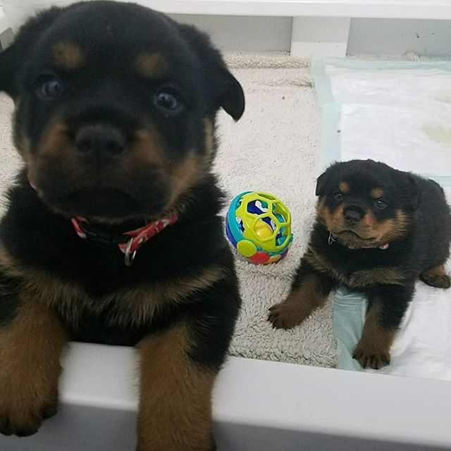 Today the pups turned 4 weeks old. 4 more before we get to bring one home.  #pupdate #rottweilerpuppy  #rottweiler  #impatientlywaiting