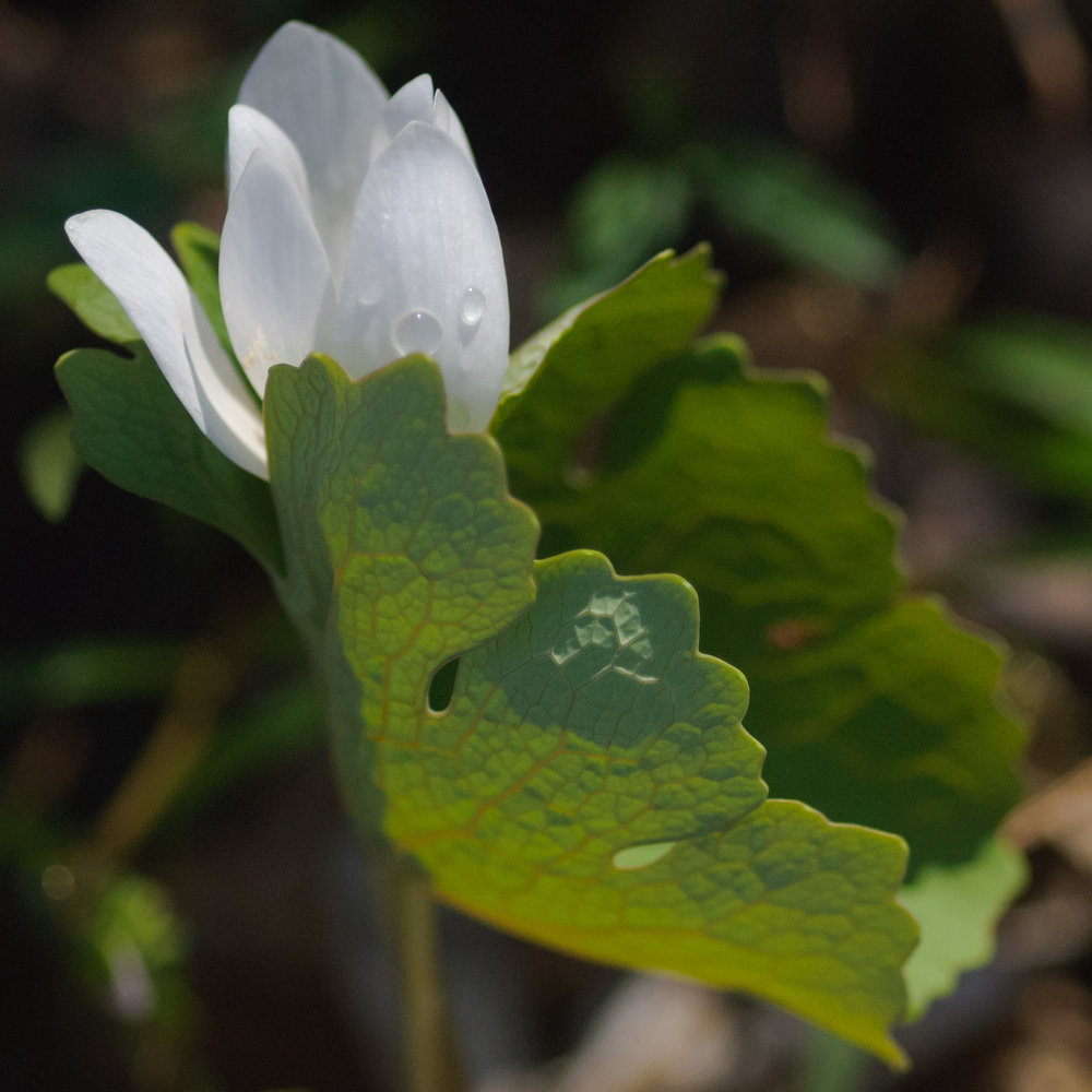 Bloodroot at McGilvra Woods State Natural Area © 2017 Jonathan Abresch