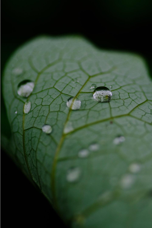 Bloodroot Leaf © 2017 Jonathan Abresch