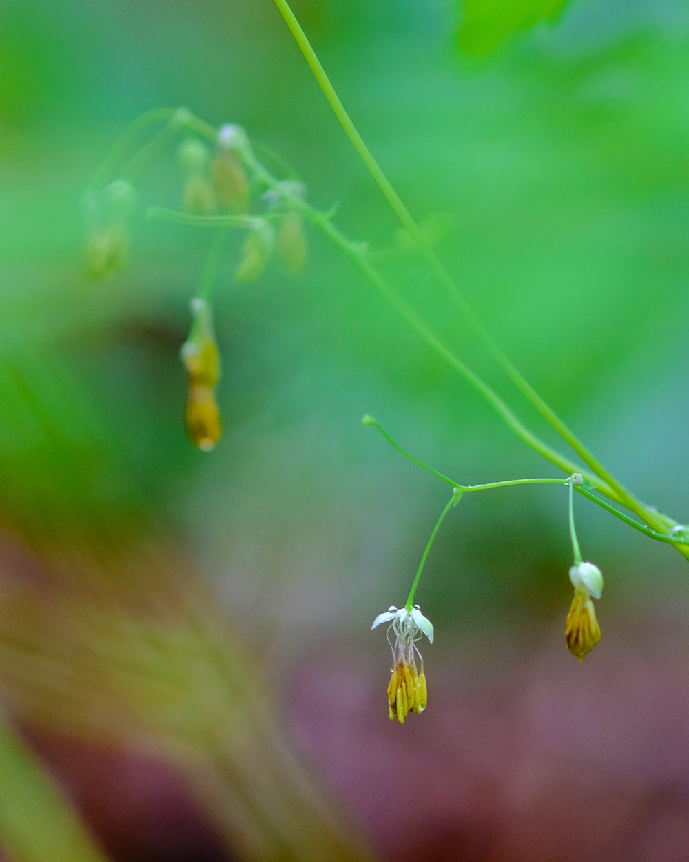 Early Meadow-rue (Thalictrum dioicum) © 2017 Jonathan Abresch