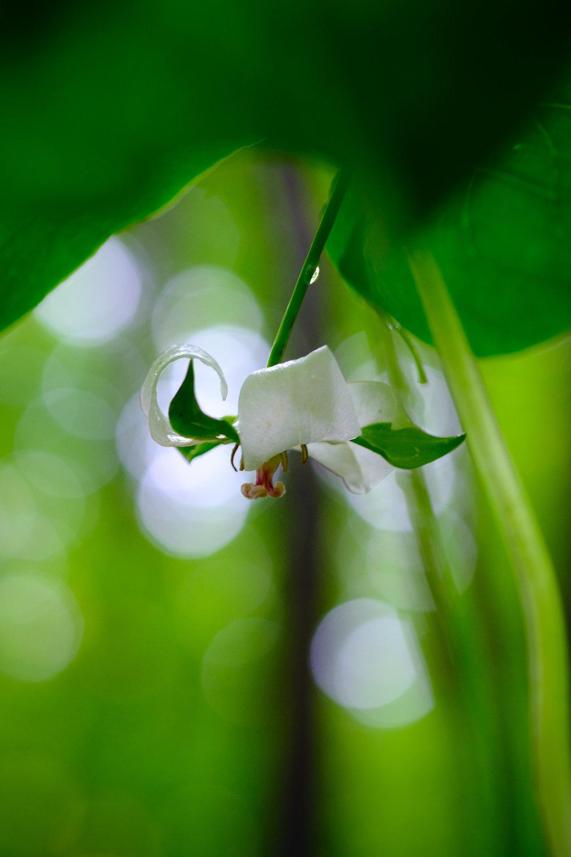 Nodding Trillium (Trillium cernuum) © 2017 Jonathan Abresch