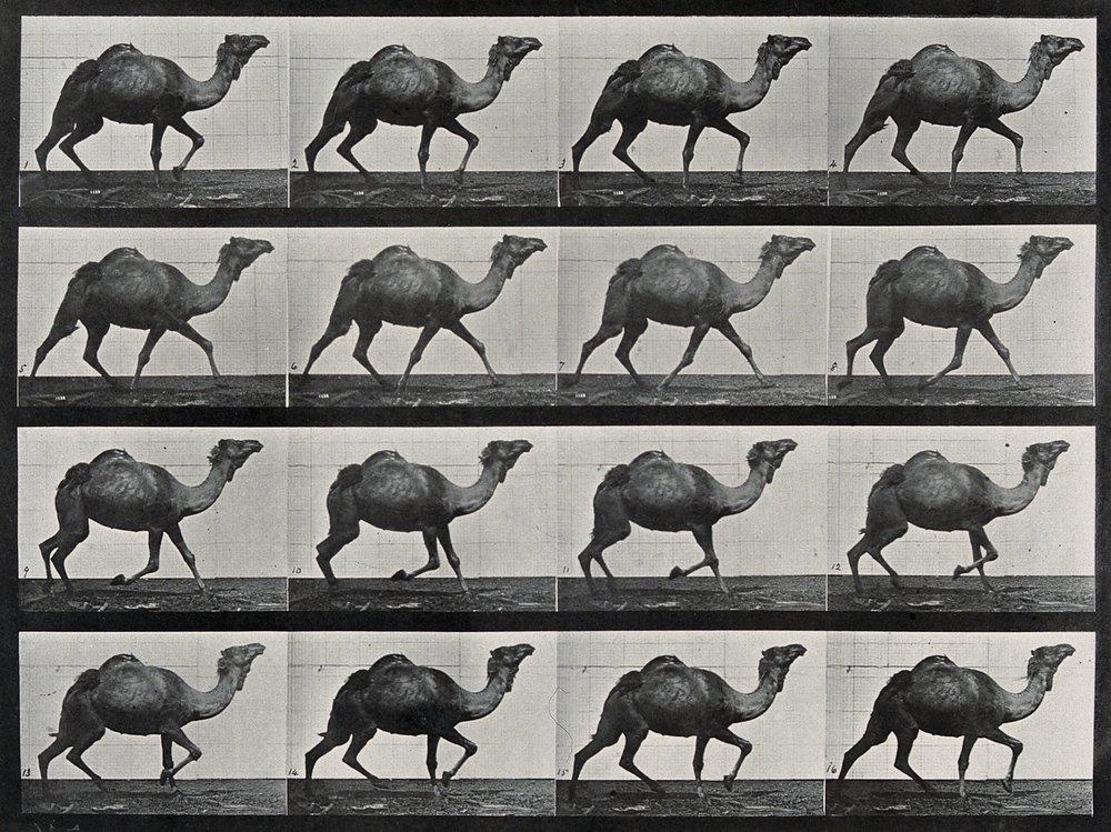 Eadweard Muybridge, A single humpback camel walking (CC-BY)