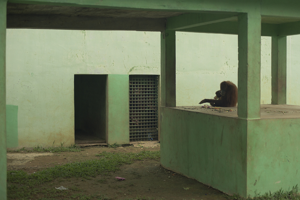 A poorly kept pair of Sumatran orangutans at the Medan Zoo. The male can be seen clutching the bars of the house.