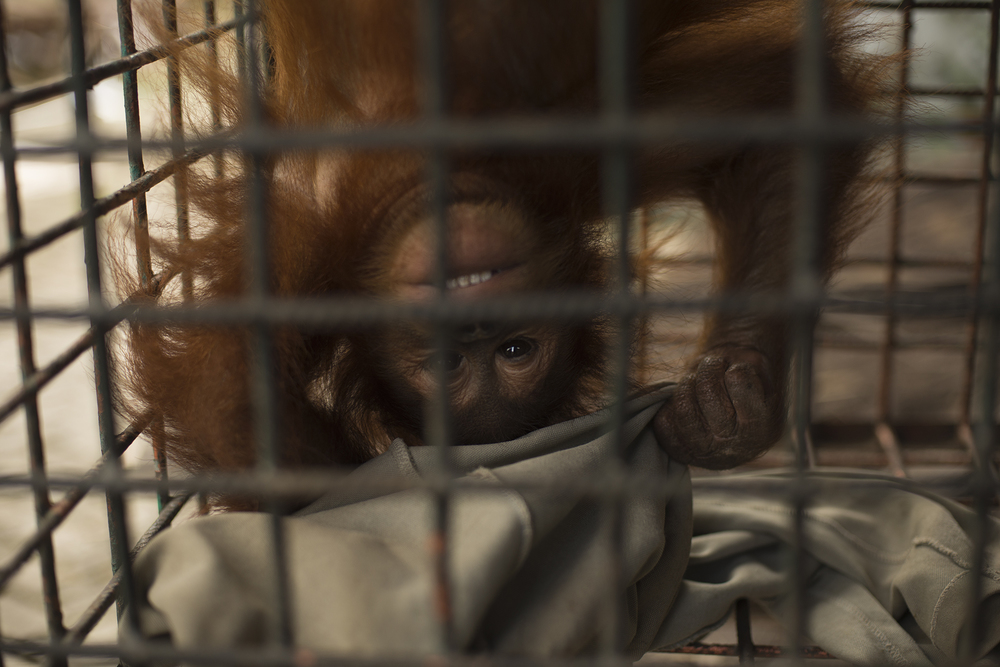 Cece, a 5 year old baby orangutan who was being kept illegally in dire conditions at an amusement park before we rescued her.