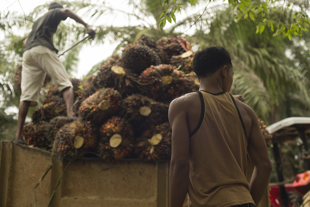 Palm plantation workers bring in a large haul of palm fruit.