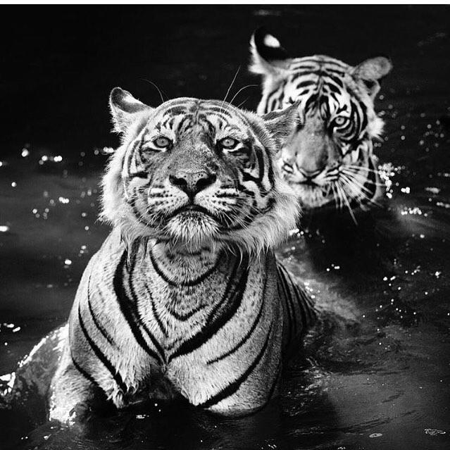 Sharing these two majestic beauties. PC: @davidyarrow to celebrate #worldtigerday 🐯@wwf_tigers
