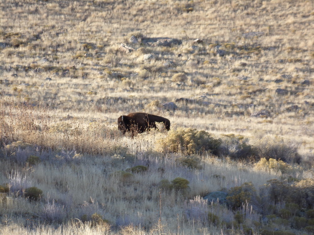 Bison strolling along behind our campsite!
