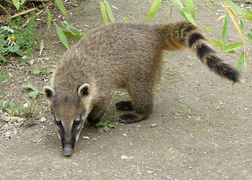 Coatimundi - also called ring-tailed coati and a member of the raccoon family. In Arizona they range from the Superstition Mountains east of Phoenix and the Huachuca Mountains southeast of Tucson, preferring elevations of 4,500 to 7,500 ft.