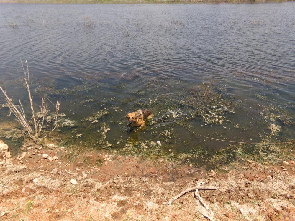 Clean pool in Phoenix? No thanks! Baron prefers green, swampy lakes!
