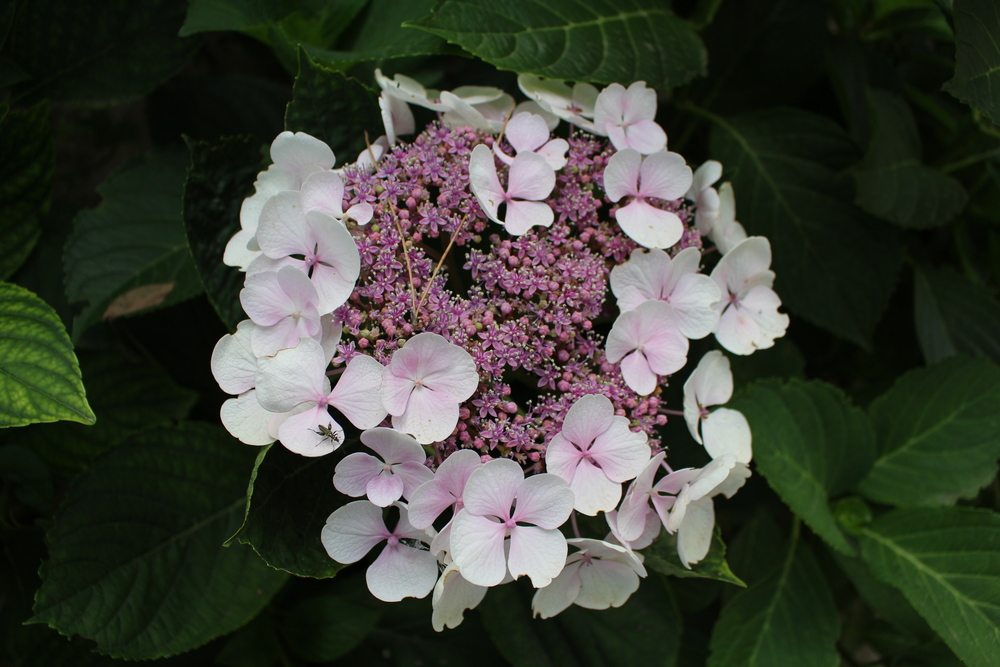 A hydrangea in its early stages