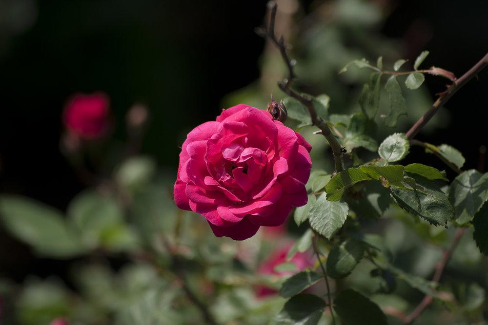 Rose_DSC_0034.jpg