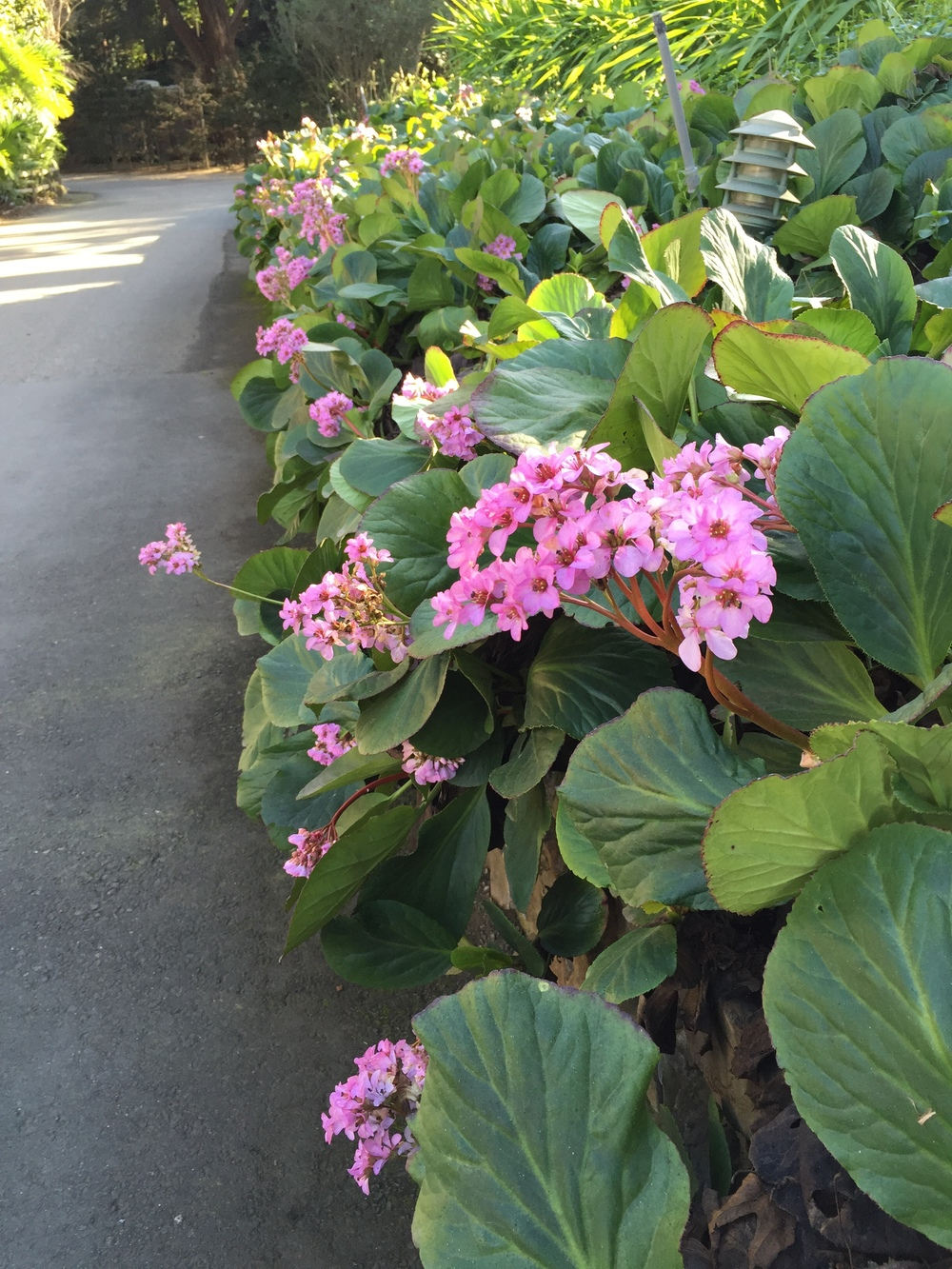 Just some Bergenia along the driveway...