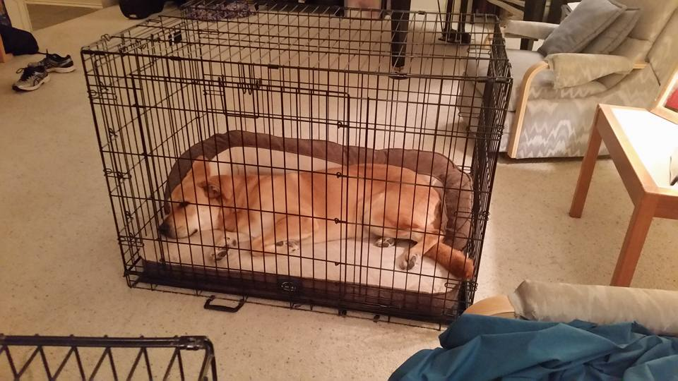 Ranger looks so cosy in his crate, it almost makes me want one!