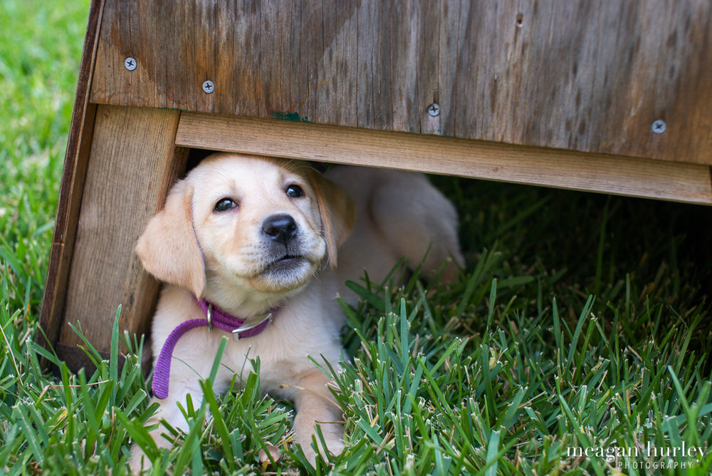 Yellow-Lab-Puppy-in-Grass.jpg