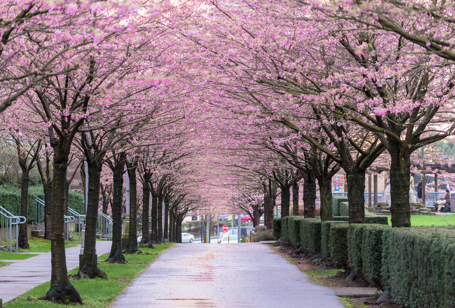 Where To Find Cherry Blossoms In Vancouver Wa