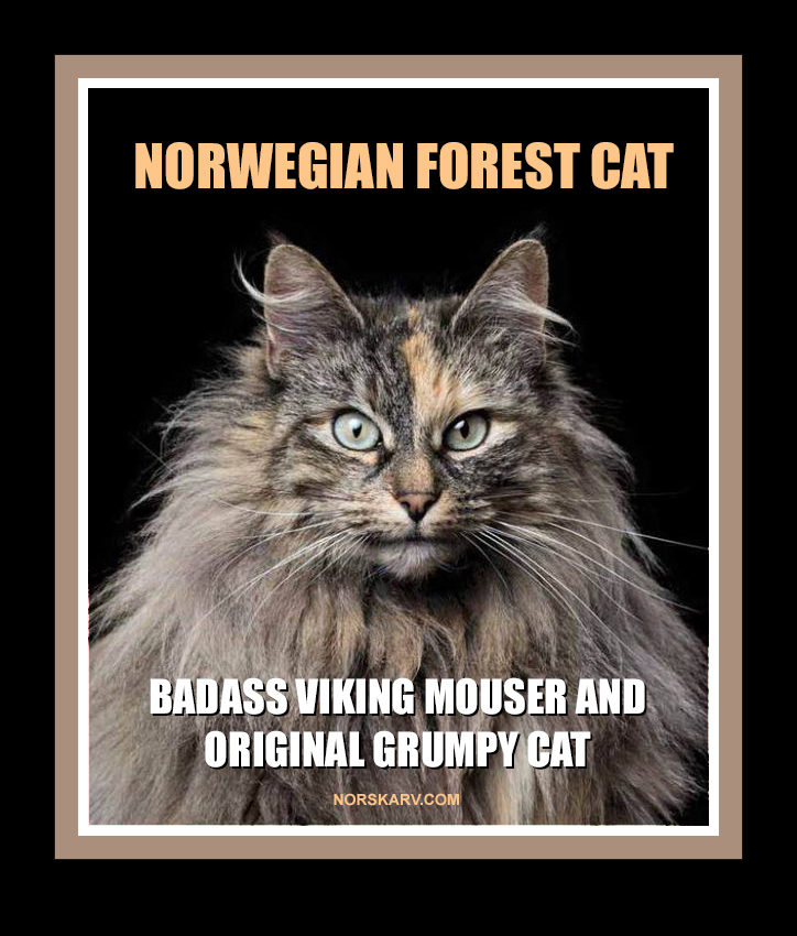 norwegian forest cat meme badass viking mouser and original grumpy cat alt for norge norway norskarv