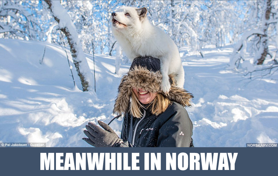 meanwhile in norway meme arctic fox on top of man snow forest norwegian norskarv alt for norge