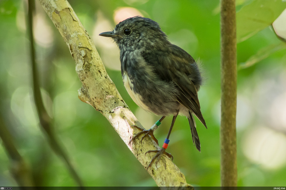 North Island Robin – Toutouwai – Petroica australis