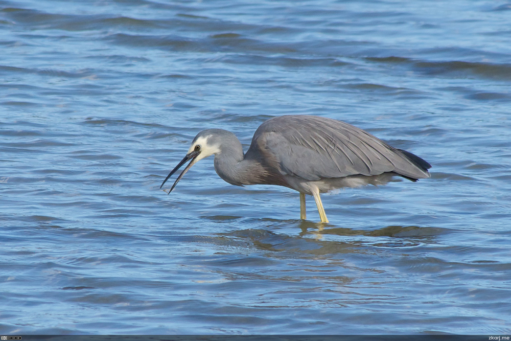 White Faced Heron – Ardea novaehollandiae