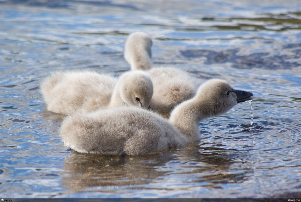 Black Swan – Cygnus atratus