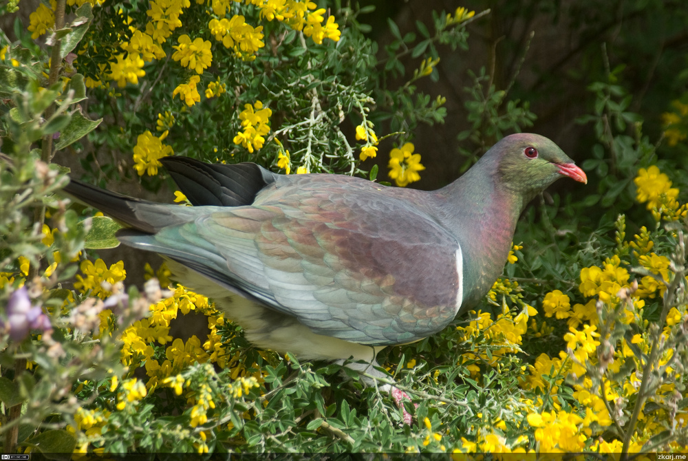 New Zealand Pigeon – Kereru – Hemiphaga novaeseelandiae