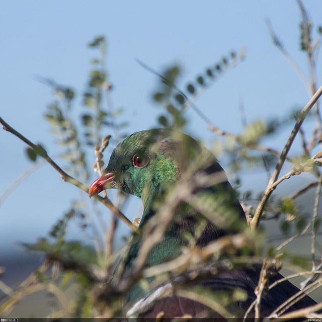 900mm equivalent focal length. No vertical crop. #kereru #teleconverter #manualfocusphoto